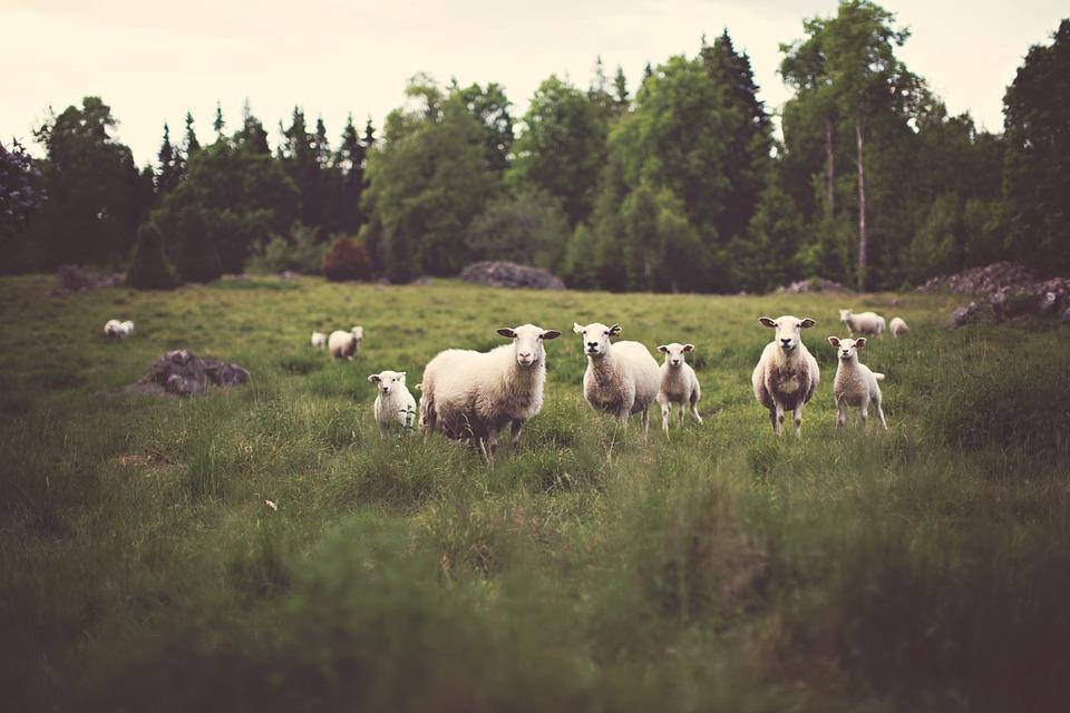 tarczyca-owcy